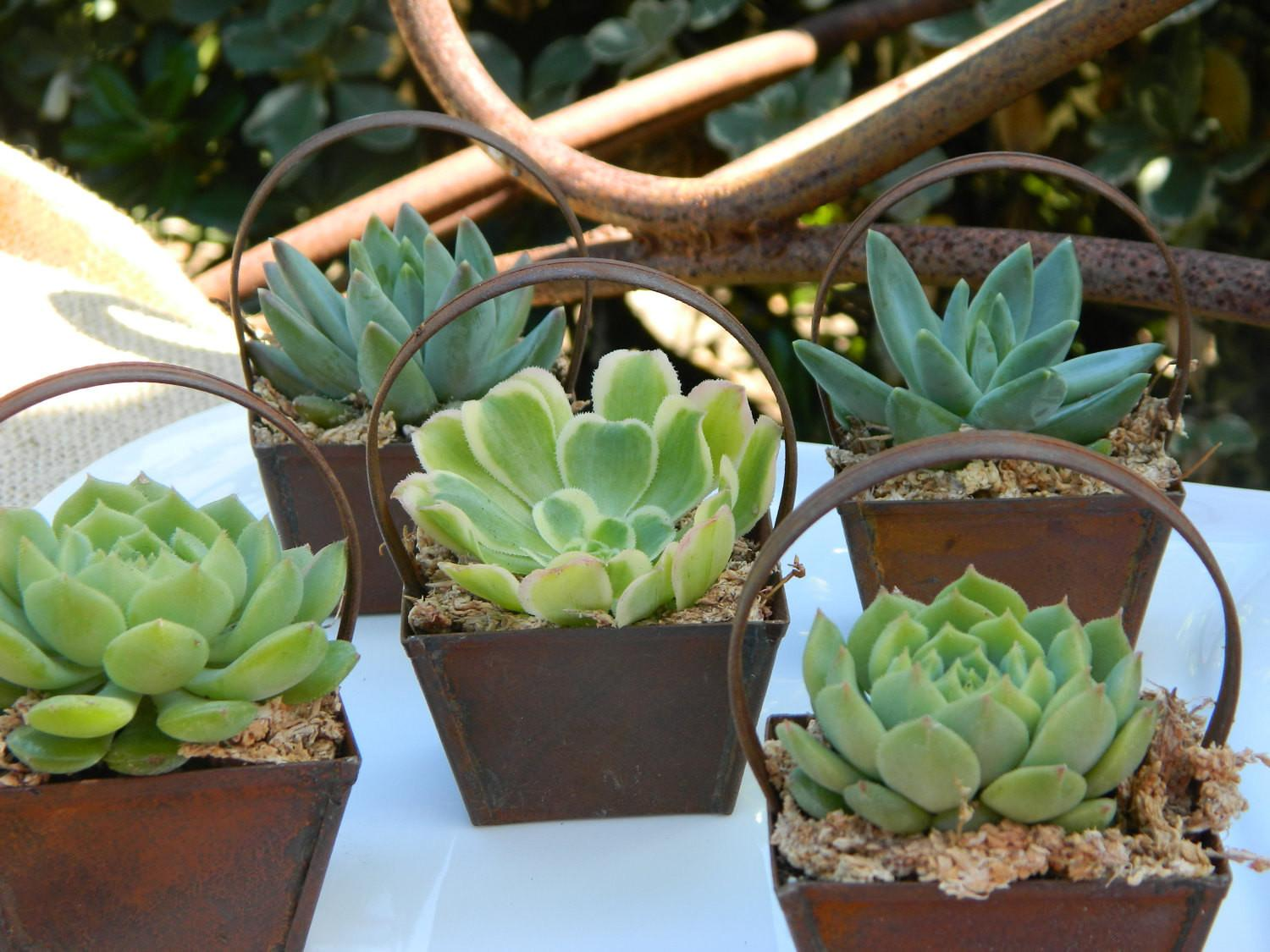 Succulent Wedding Favor Bridal Shower Rustic