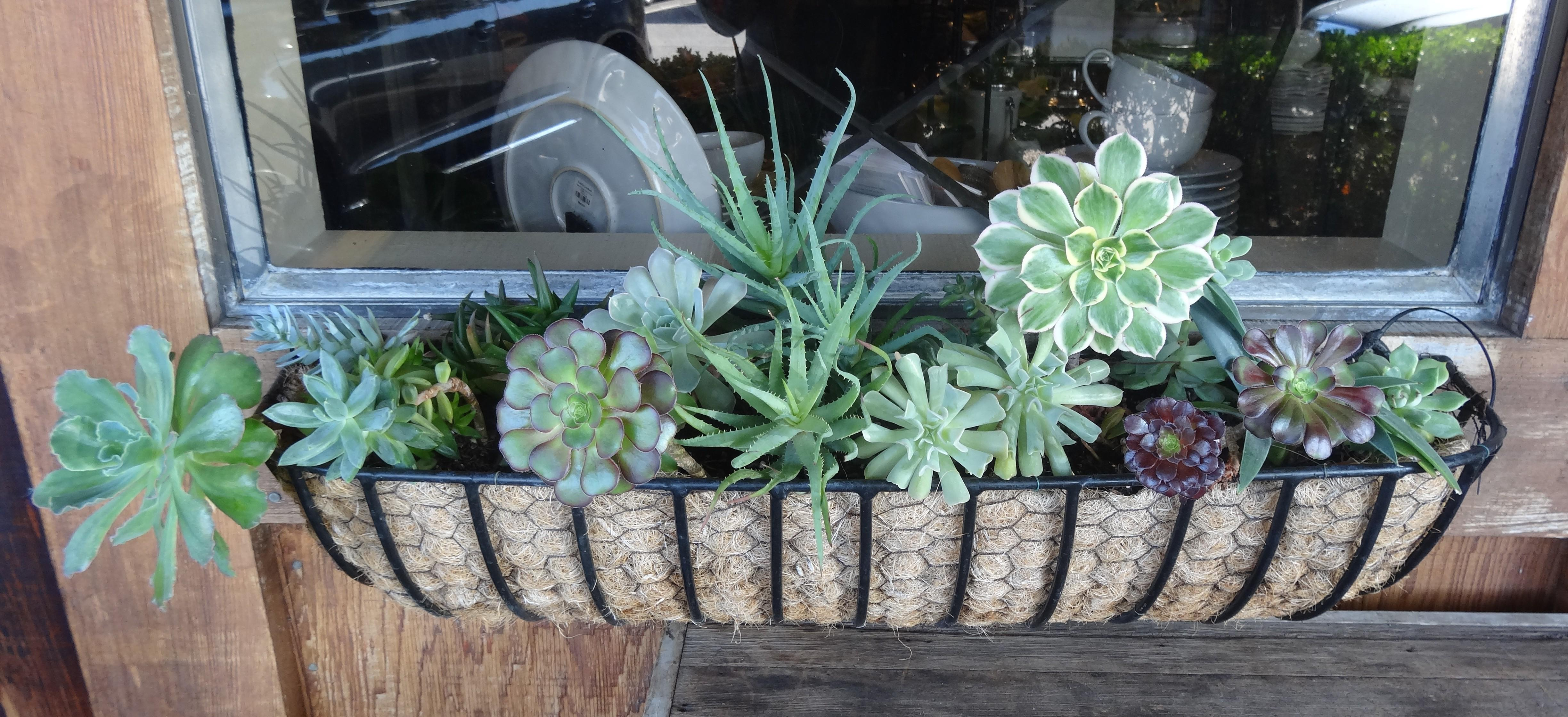 Succulents Window Boxes Tended