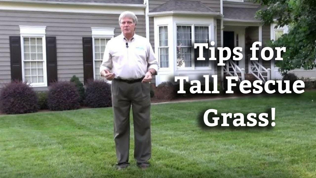 Tall Fescue Grass Expert Lawn Care Turf Tips