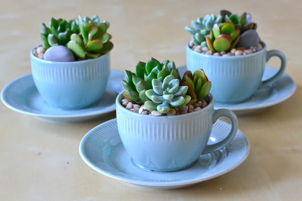 Teacups Saucers Collection Republic Succulents