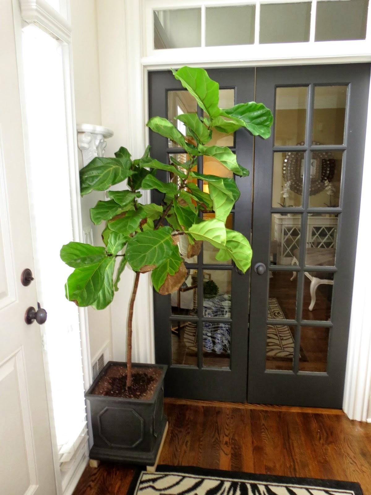 Tiffanyd Caring House Plants Fiddle Leaf Fig Story