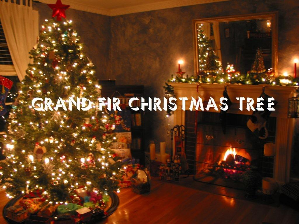 Tips Choosing Grand Fir Christmas Tree 2016 Perfect