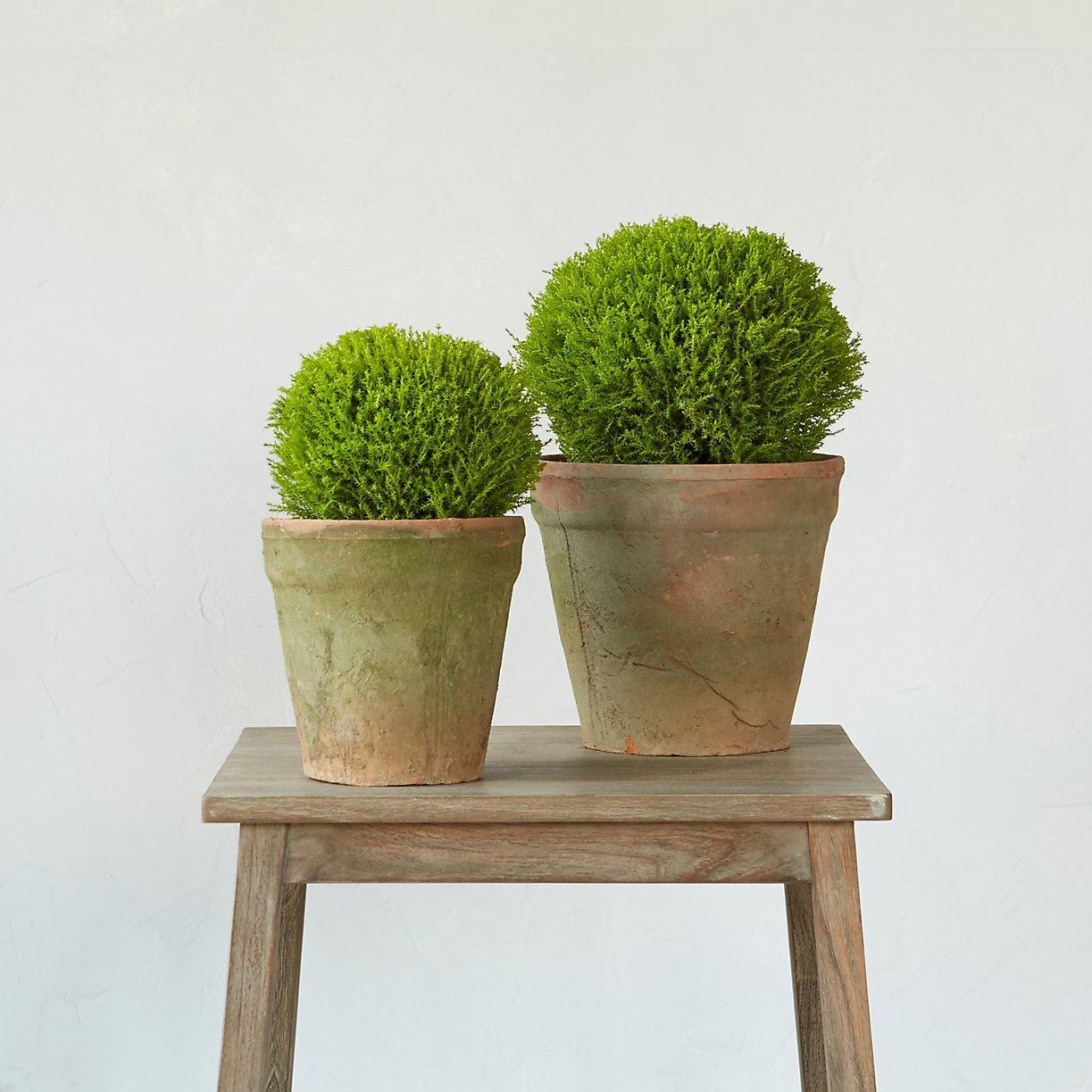 Topiary Style Dash Associated Manicured Elegance