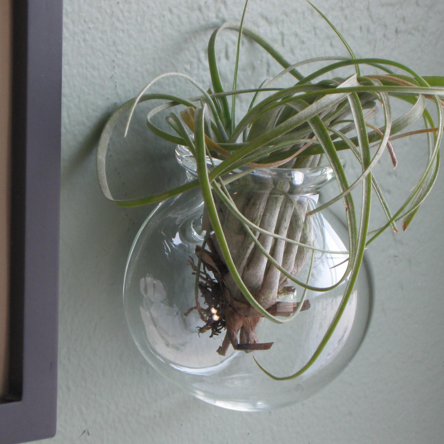 Wall Mounted Glass Globe Air Plants Small Terrarium