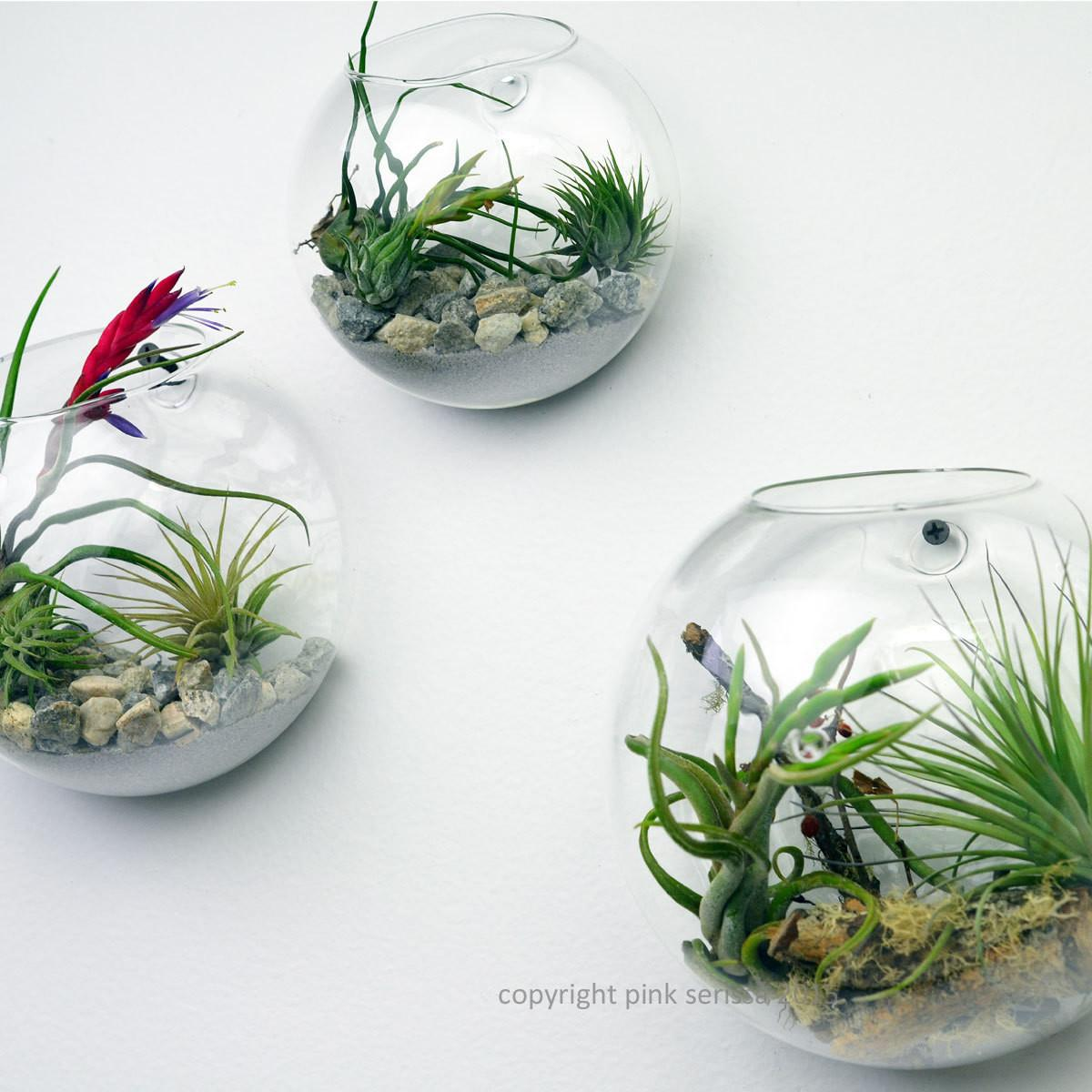 Wall Terrarium Living Air Plant Pinkserissa