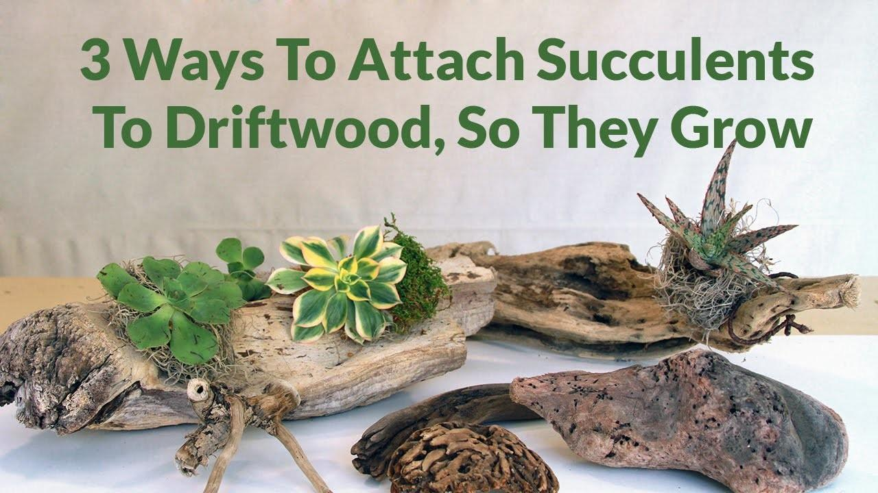 Ways Attach Succulents Driftwood They Can Grow