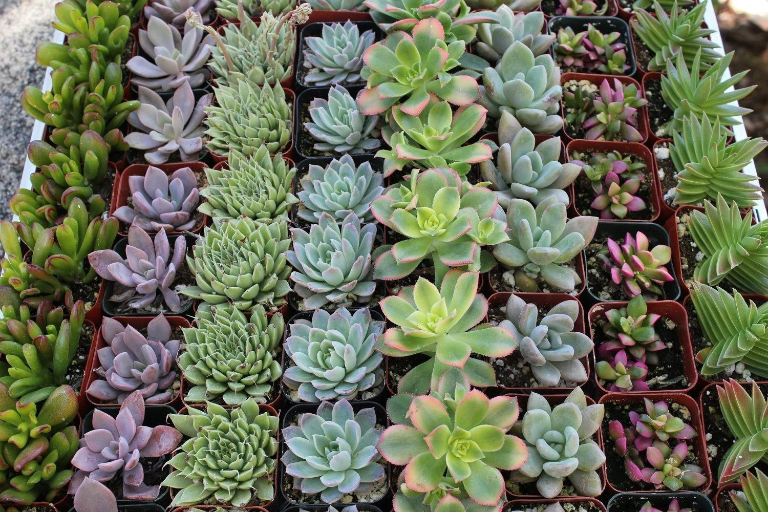 Wedding Succulents Sale Bulk Succulent