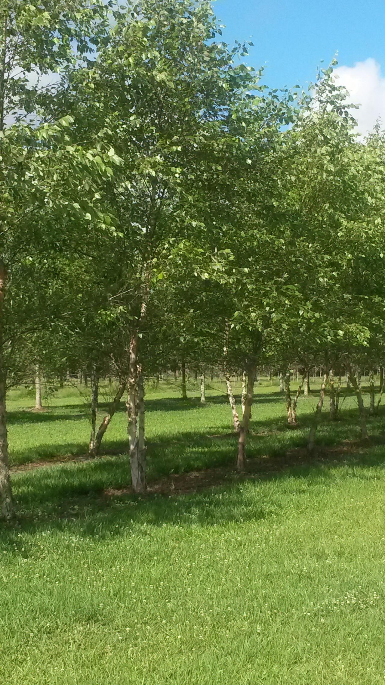 Wilkinson Tree Farm Our Beautiful Live Oaks