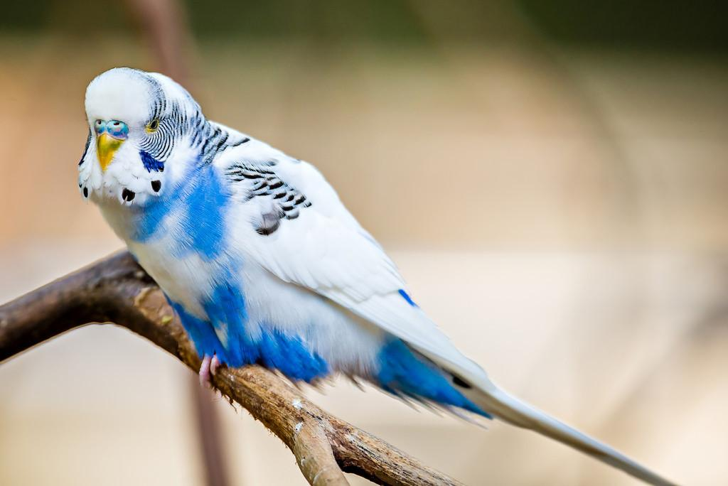 World Best Photos Budgerigar Undulatus